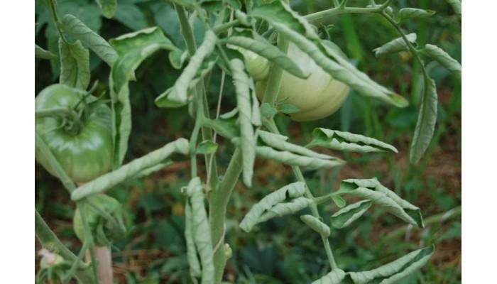 Разворачиваем листочки у томатов… (причины закручивания листьев и как это устранить)