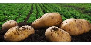 Сезон картофельных баталий.